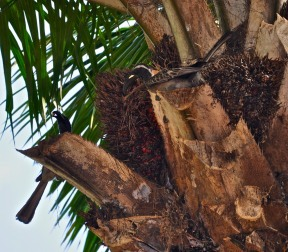 African Gray Hornbill (pair)