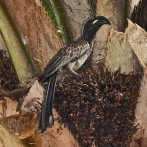 African Gray Hornbill