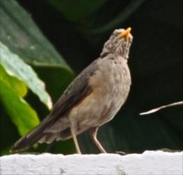 West African Thrush