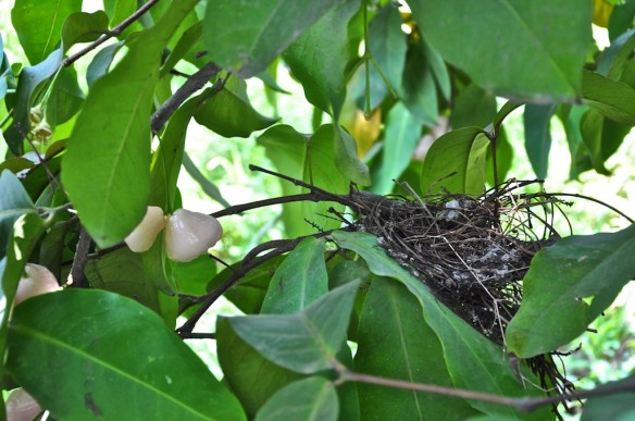 Empty nest in Wax Apple tree