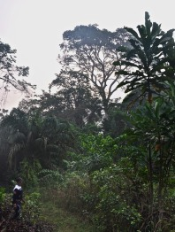 Ekki Tree, tallest tree in forest