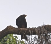 Black Kite large bird of prey