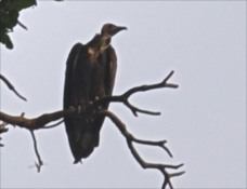 endangered Hooded Vulture in Nigeria