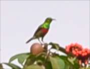 Olive-Bellied Sunbird