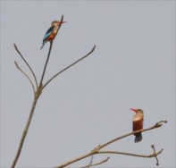 Senegal kingfisher and Grey headed Kingfisher