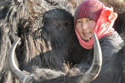 Milking a yak