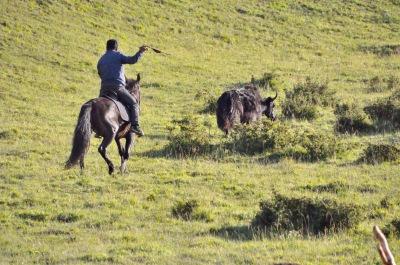 Herding cows to upper level grasslands