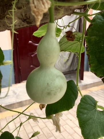 Gourd growing on tree